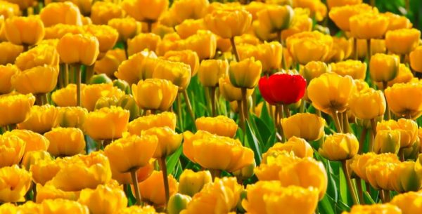 tulips-flowers-yellow-beautiful-87417