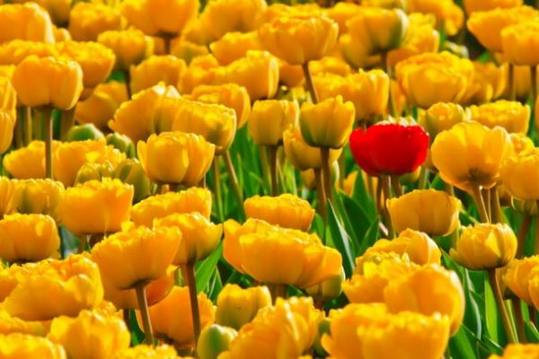 tulips-flowers-yellow-beautiful-87417